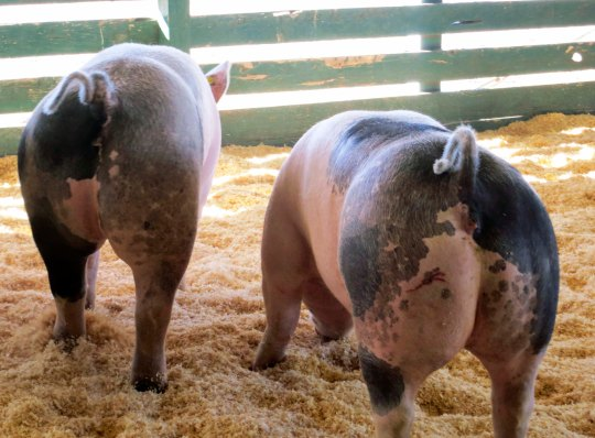 The pigs were 'hamming it up' at the Modoc County Fair in Cedarville, California.