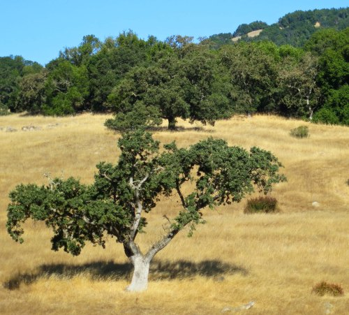 To me, the coastal ranges of California provide some of the most scenic views in the world. This was behind the Days Inn where I stayed in Novato. I love the contrast between the gold of the grass and the green of the oaks.
