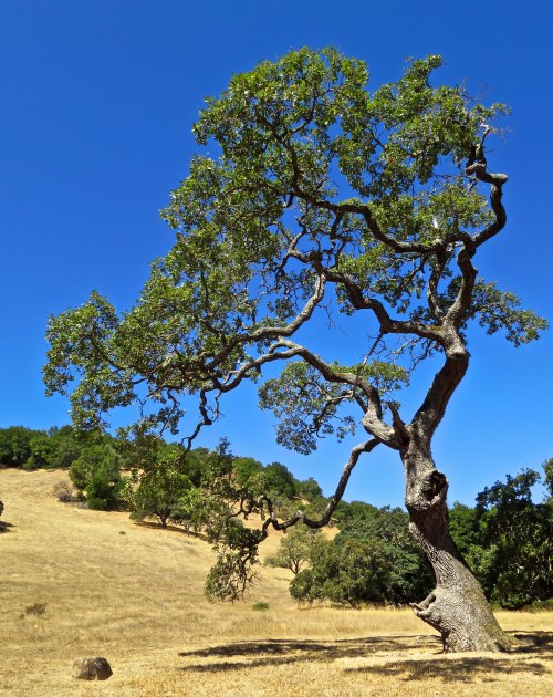 I photographed this picturesque oak tree at Olompali State Park. Later I discovered the same tree was featured on the cover of the Park's brochure. Acorns from oaks were a major source of food for the Miwok Indians.