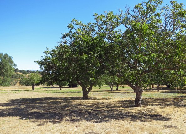 Remnants of an extensive fruit orchard planted by the Burdells still remain. It was said that their oranges matched anything coming out of Southern California. Bananas— not so good.