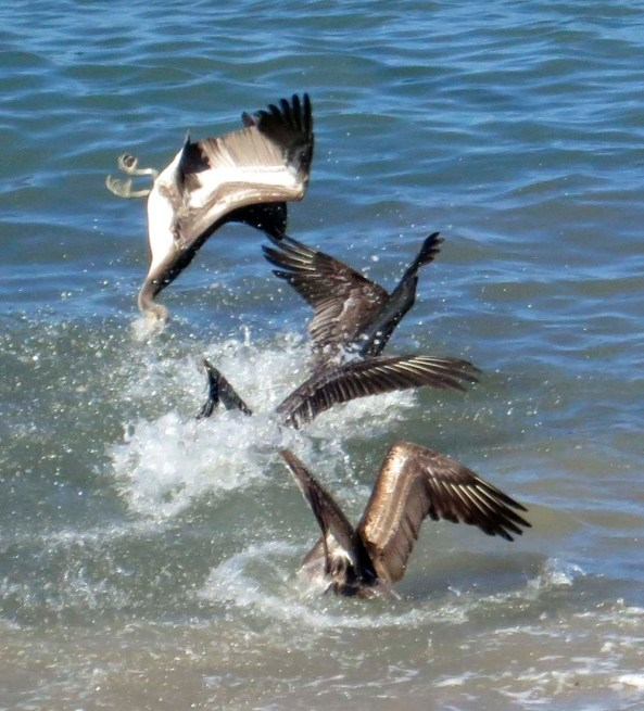 Pelicans join a feeding frenzy as they dive into Banderas Bay after a school of fish. The upside down guy made me laugh.