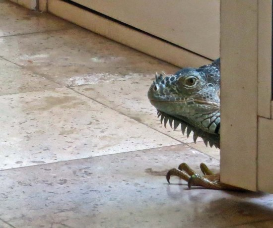 We left the door open to see if the iguana would come inside searching for the other iguana. We were thrilled to see his head appear…