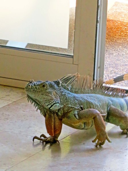 …Soon to be followed by the rest of the iguana.