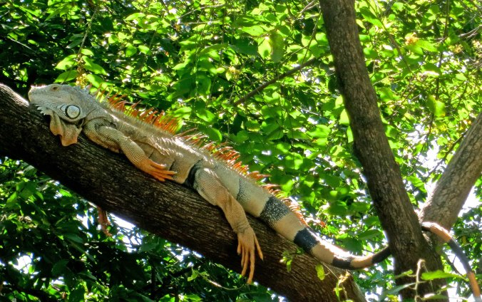 This big fellow was taking his afternoon siesta in a tree next Puerto Vallarta's attractive River Cuale.