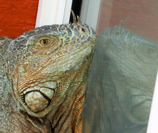 I discovered the iguana was admiring its reflection in the window and wondered if it was breeding season and the large Puerto Vallarta lizard believed he had found true love— or possibly a rival.