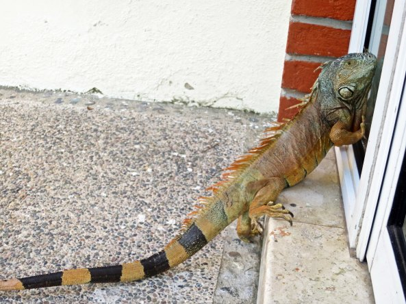I found the Puerto Vallarta iguana outside scratching at our window. Was it asking to come in?