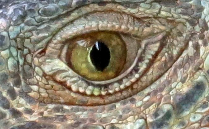 As the iguana stared balefully back at me, his eye seemed to grow.