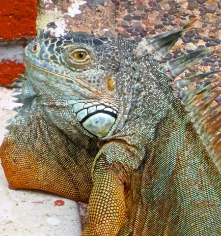 Senor Iggy the iguana came to visit us when we were in Puerto Vallarta.