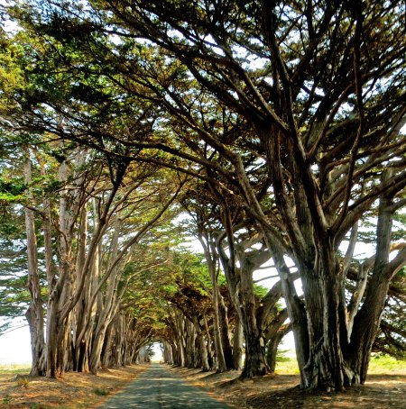 To this bower of trees at Point Reyes national Seashore.