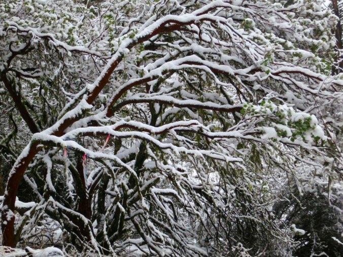 A manzanita bush shows off its winter coat.