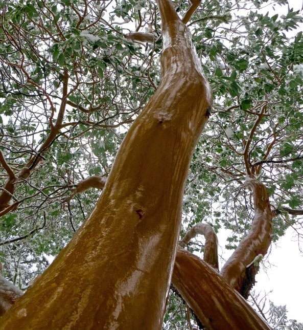 Surprise! A madrone's bark gleams with wetness created by melting snow.