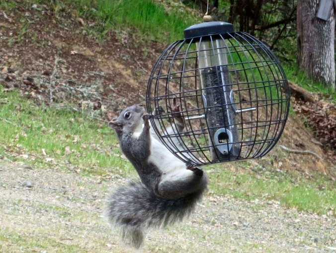Interest in the bird feed goes beyond birds as this gray squirrel demonstrates. It shimmied up the pole, which was quite humorous.
