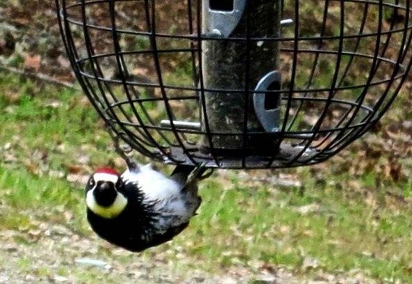 .Acorn woodpecker in Southern Oregon