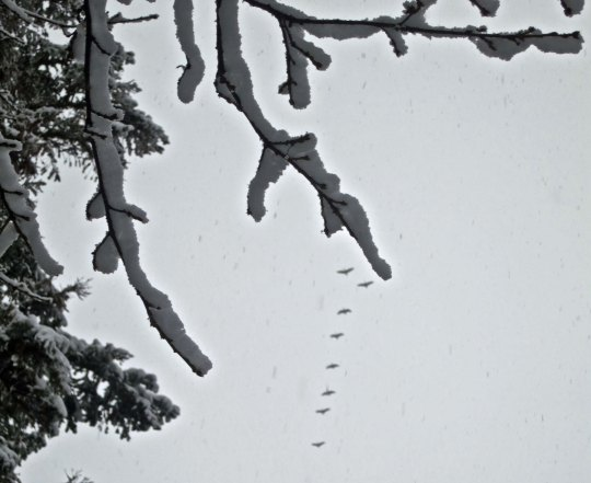 I stopped to take a photo of a snow-covered branch and a flock of Canadian Geese flew into the photo. Serendipity.