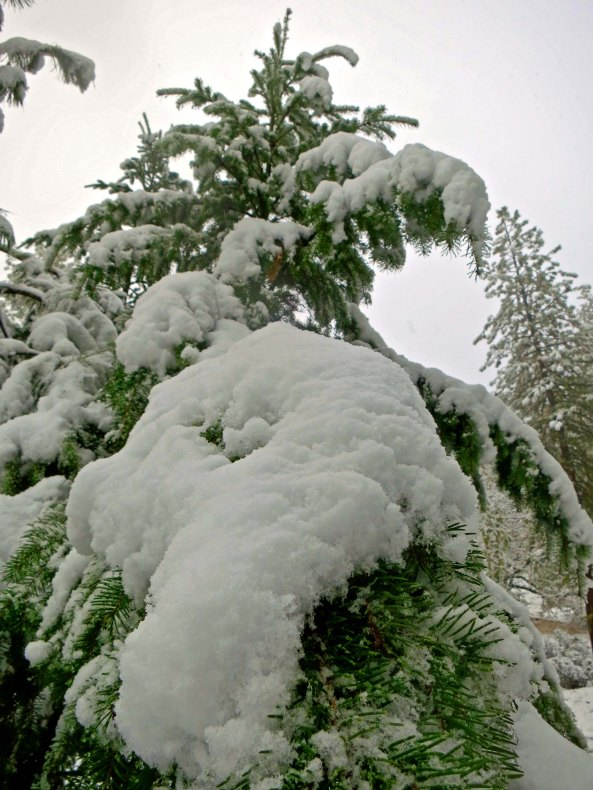 The limbs of this Douglas fir were bowing with the snow it had collected.