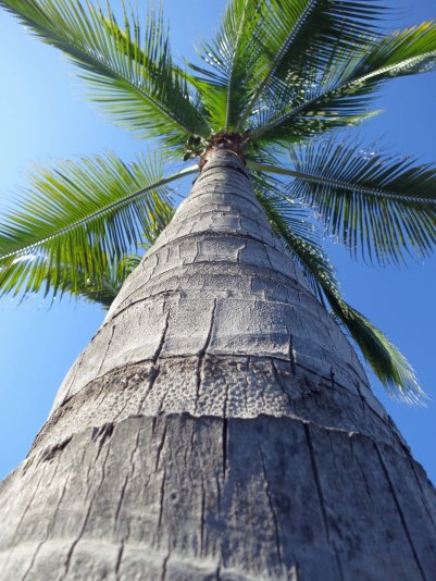 Palm tree in Puerto Vallarta