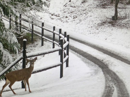 """A female Black Tail deer stopped next to our upper fence to checks out. """"You wouldn't happen to have an apple, would you?"""" she seems to be asking."""