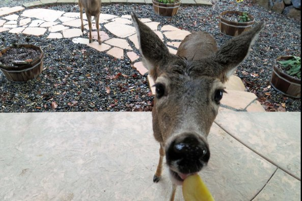 Of the many visitors to our home I blog about is the deer herd that lives in our backyard and has become quite fond of apples.