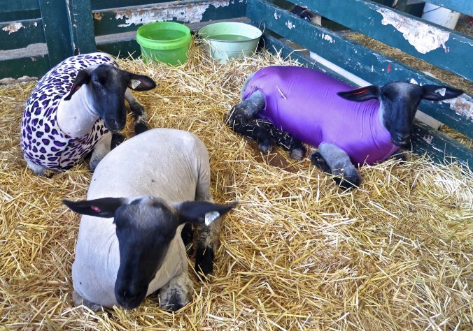 I often skip the sheep barn, but how could I resist taking a photo of them all dressed up?