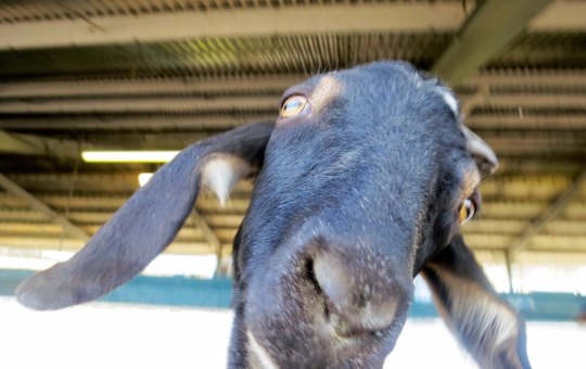 Goats have always been one of my top reasons for visiting county fairs. This fellow was very curious about my camera. Shortly afterwards he tries to nibble on my shirt.