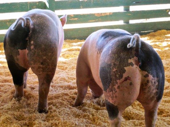 Modoc County Fair pigs