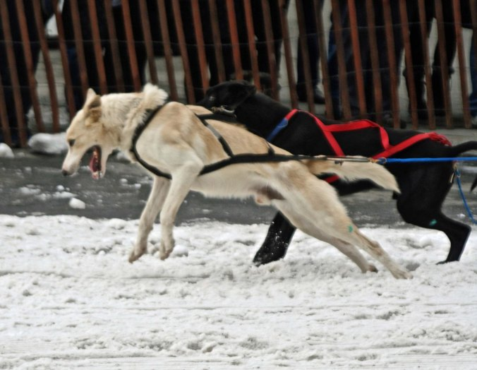 A sled dog strains against its harness as it leaps to take off in the annual Fur Rendezvous championship sled dog races.
