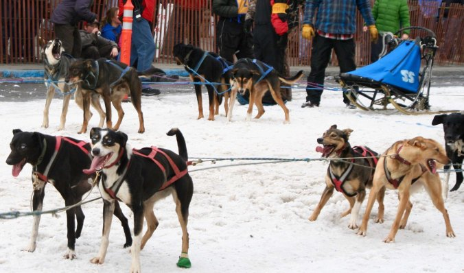Today's racing sled dogs look quite different from the sled dogs of 30 years ago. These are Eurohounds, a mixture of traditional Alaska Huskies and German Short Haired Pointers.