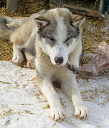 A more traditional Husky. I took this photo at Chena Hot Springs.