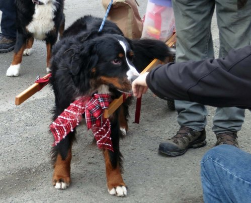 This Bernese Mountain Dog stopped by for a sniff.
