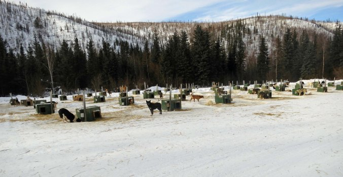 Dog kennels at Chena Hot Springs. Libby Riddles told me that mushers normally owned a number of dogs. Imagine feeding this lot! And cleaning up their poop.