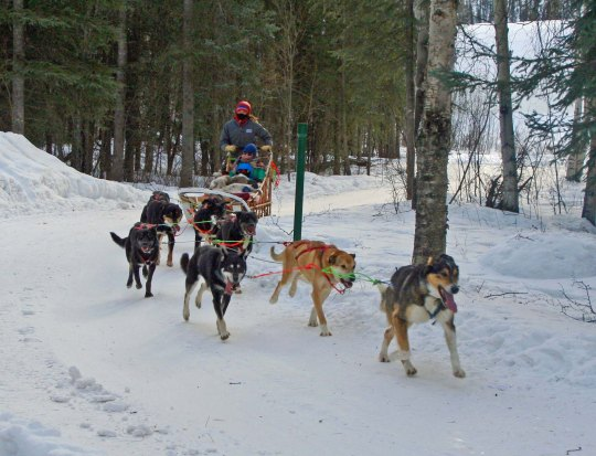 A final shot of the sled dogs at Chena Hot Springs as they round a corner carrying Tony, Connor and Cooper. (Photo by Peggy Mekemson.)