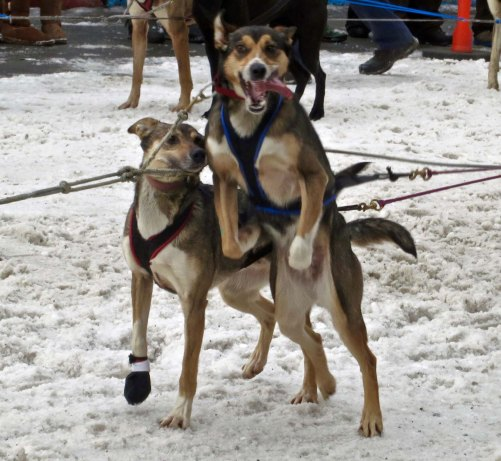 "As I mentioned above, sled dogs love to run and compete as much as the finest of Olympic athletes. This dog is saying, ""I'm ready, Let's go!"""
