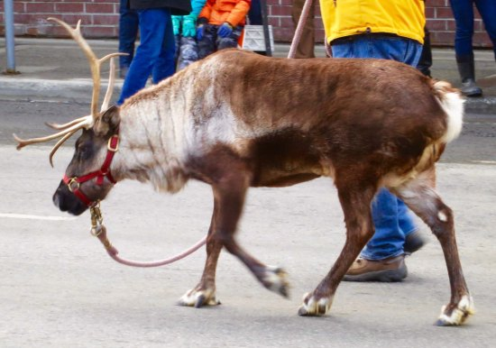 Star the Reindeer lives on a lot in downtown Anchorage. I think there is a requirement that he participate in all Anchorage parades.