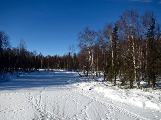 While bears hibernate during the winter, moose operate year around, this open, ice covered river provided a moose highway as indicated by the trails.