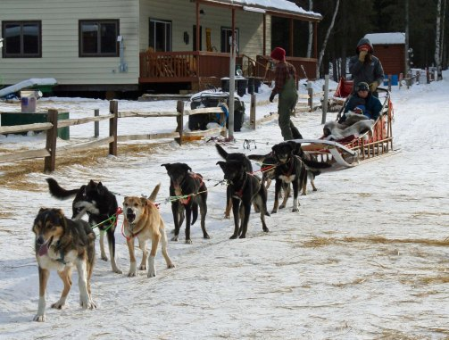 These dogs in Chena Hot Springs were prepared to provide our son Tony and grandsons cooper and Connor with a ride. The fist dog is the lead dog, the next are swing dogs, the following four are team dogs and the last two are wheel dogs.