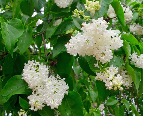 Flowers burst out all over the graveyard in spring, and provided many a bouquet for Mother, picked dutifully by me. This lilac bush was still blooming away.