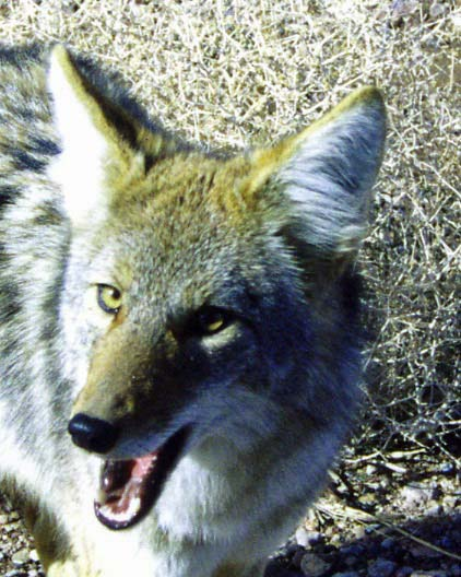 """A coyote ran along beside me for a short while as I rode out of Death Valley. Here's a shot of a Death Valley coyote saying , """"Feed me!"""""""