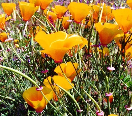 As were the flowers, such as these California Poppies...