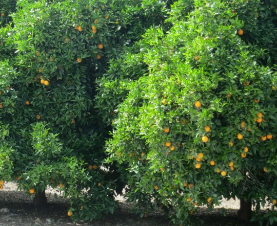 One of the orange trees I biked by near Porterville.