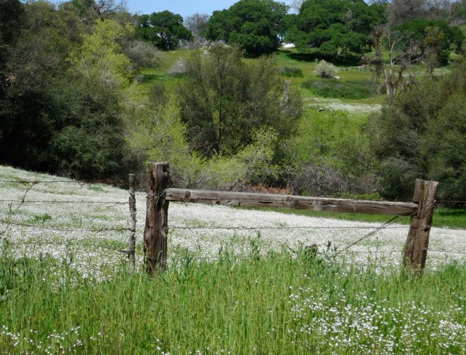 And these carpets of white flowers further up in the foothills.