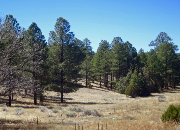 Ponderosa pines on New Mexico Highway 70