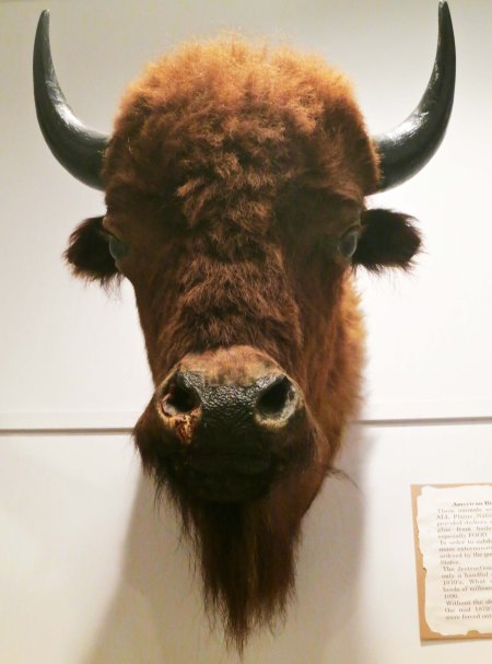 "There is nothing particularly unusual about finding a stuffed buffalo head in a museum. But i found the sign on the side quite interesting. A quote: ""In order to subdue the Plains Indians, mass extermination of the buffalo was ordered by the US Government."""