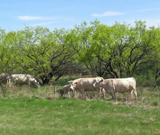 Some appropriate cattle on the way to Throckmorton.
