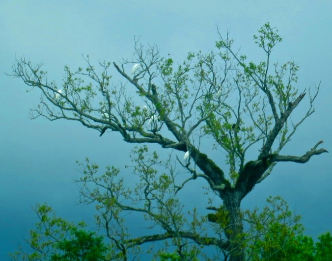 I should have spent more time looking up. These egrets reminded me of a Japanese print.