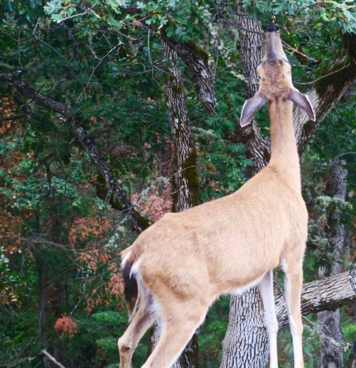 Mom has to work hard to get enough food to feed her babies, especially when she has twins. Here she is working a white oak in front of our house. Peggy has worked had to find deer resistant plants. The deer are welcome to the oak leaves.