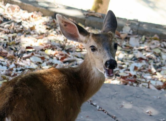 Little Buck is too small to get in on the action. It isn't that he won't have it in mind, but the bigger bucks, which is just about everyone, will chase him away. Here he seems to be commenting on the fact.