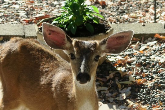 My last photo for the day. Little Buck looks cute in hopes of earning an apple.