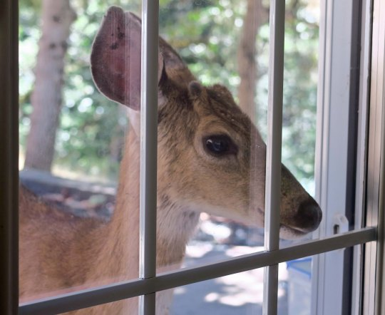 A long blacktail deer looks in a window in the Applegate Valley.