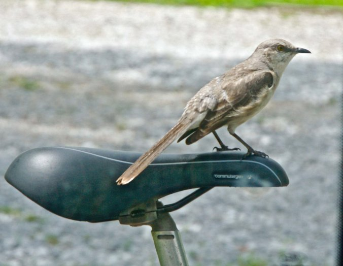 This mocking bird wondered how bicycling compared to flying. (Photo by Peggy Mekemson.)