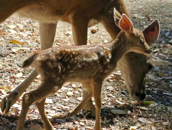 The fawns are so tiny at first.